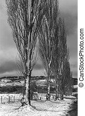 Poplars en la escena del invierno