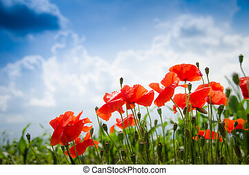 Poppies en un cielo azul