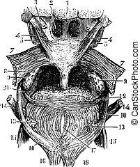 Porción transversal de la lengua, la parte trasera de la garganta, grabado vintage.