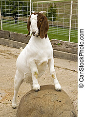 posar, goat
