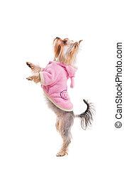 posición, lindo, todos, perros, ser, lado, plano de fondo, aislado, yorkshire, mientras, rosa, necesidad, trasero, it., ropa, blanco, piernas, terrier, su, vista