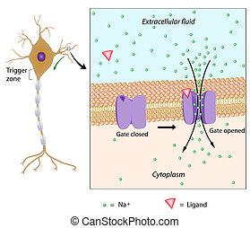 potencial, eps10, local, neurona