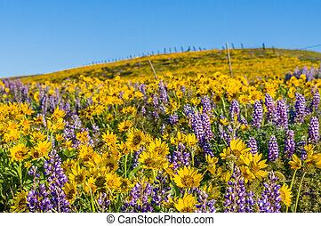 Praire de flores silvestres con balsamroot y lupine
