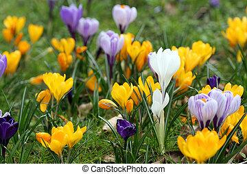 primavera, azafrán