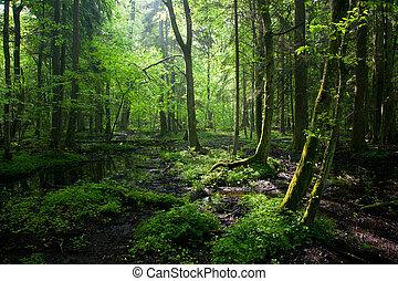 primavera, caduco, estante, mojado, bialowieza, salida del sol, bosque