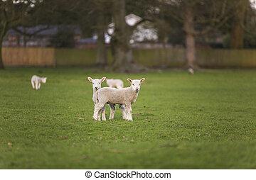 Primavera corderos bebé ovejas en un campo