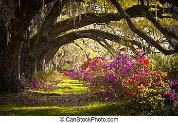 primavera, español, roble, árboles, plantación, vivo, azalea, musgo, florecer, sc, charleston, flores, flores