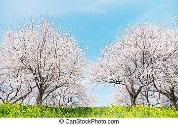 primavera, japonés, scenics