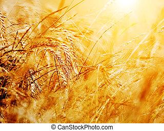 Primer plano del campo de trigo. Fondo de agricultura