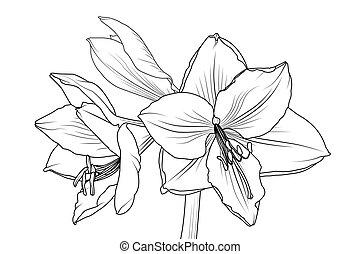 primer plano, macro, lilly, vista, amaryllis, hippeastrum