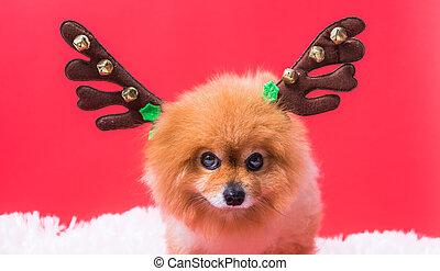 primer plano, navidad, divertido, reno, chihuahua, disfraz, retrato, venado, perro