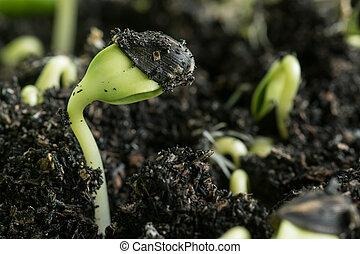 primer plano, verde, planta de semillero