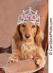 Princesa Dachshund