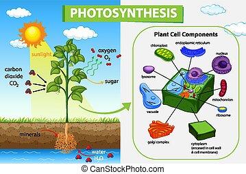 proceso, diagrama, planta, actuación, fotosíntesis