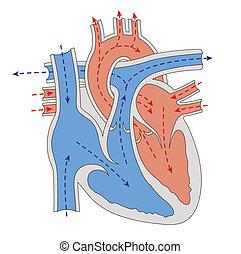 Progreso de sangre a través del corazón