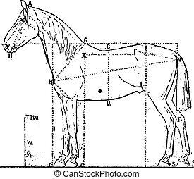 proporciones, caballo, engraving., vendimia