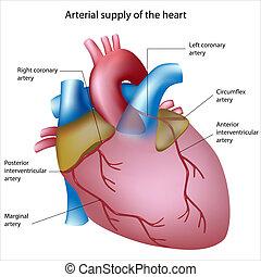 Provision de sangre al corazón