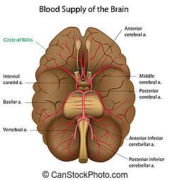 Provision de sangre del cerebro, Eps10
