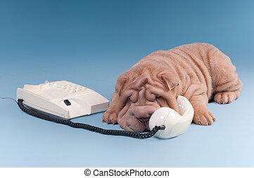 Puerco afilado discutiendo por teléfono