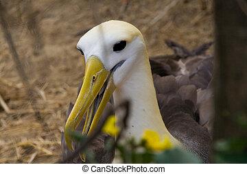 puesto peligro, albatros
