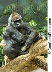 puesto peligro, gorila occidental bajura