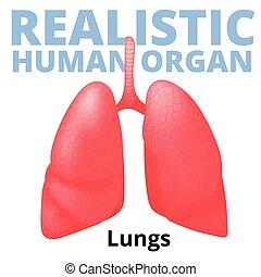 Pulmones humanos realistas aislados en el fondo blanco.