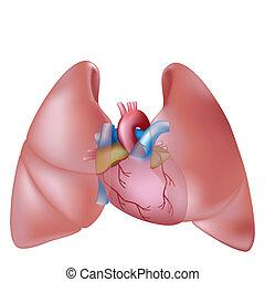 Pulmones y corazón humanos