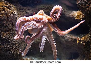 pulpo, profundidad, vulgari), (octopus, etéreo