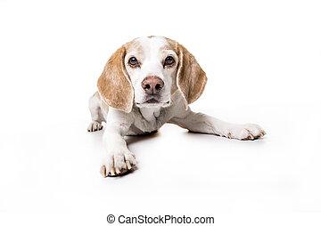 Puppy Beagle de fondo blanco