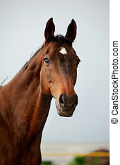 purebred, caballo