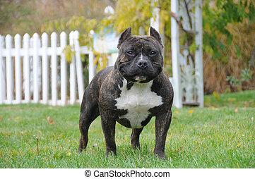 Puro canino americano