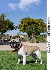 Puro perro canino de mascota francesa