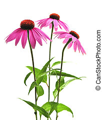 purpurea, planta, echinacea