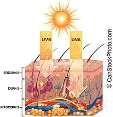 radiación, uva, penetrar, piel, anatomy., uvb, detallado, skin.