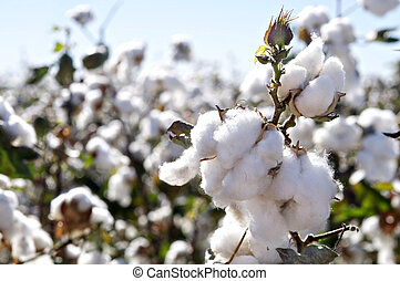 rama, cápsulas algodón