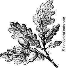Rama de quercus petur