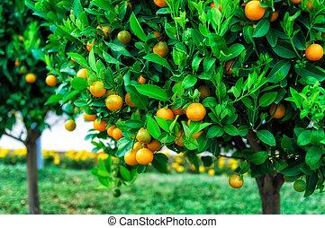 Ramas con los frutos de los árboles de mandarina