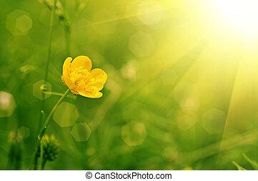 ranúnculo, flor