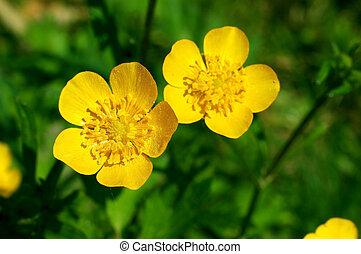 ranúnculo, verano, spearwort, flor