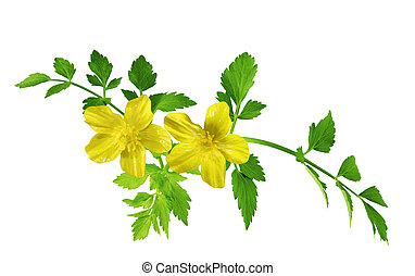 ranúnculo, wildflower