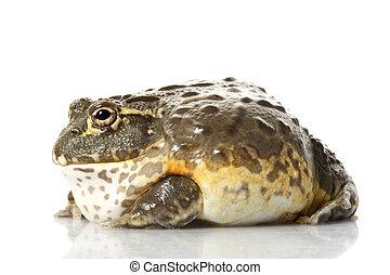 Rana africana de rana/pixie