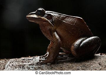 Rana leptodactylus rhodonotus