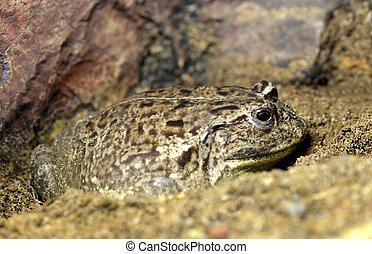 rana mugidora, africano, duendecillo, frog., o