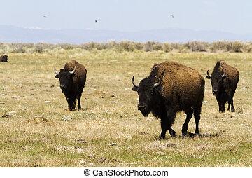 Rancho Buffalo