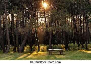 Rayo de sol en el bosque de pinos