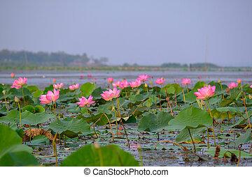 Realeza de alta calidad imagen libre de una flor de loto rosa. El fondo es la hoja de loto y flor de loto rosa y brote de loto en un estanque