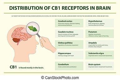 receptores, cerebro, infographic, distribución, cb1, horizontal