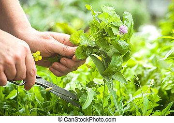 Recogiendo hierbas frescas en el jardín