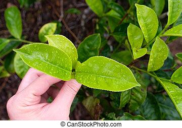 Recogiendo la punta de la hoja verde de té por mano humana en la colina de la plantación de té