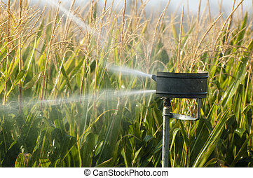 Regar la plantación de maíz